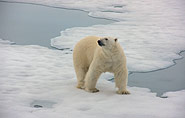 Polar bear Franz Josef Land
