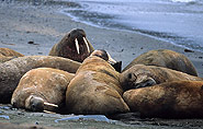 Arctic animals, walrus, polar-travel.com