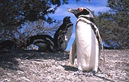 Pinguin, polar-travel.com